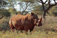 Vit noshörning Arkivbilder