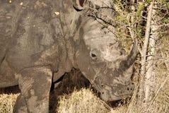 Vit noshörning Royaltyfri Fotografi
