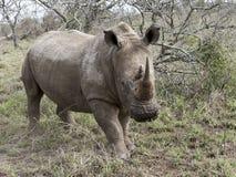 Vit noshörning arkivfoto