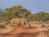 Vit noshörning Fotografering för Bildbyråer