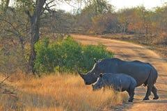 Vit noshörning (Ceratotheriumsimum) och kalv Arkivbilder