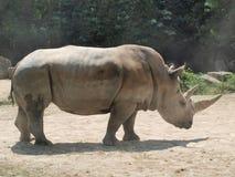 Vit noshörning (Ceratotheriumsimumen) Royaltyfria Bilder