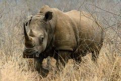 Vit noshörning eller fyrkant-lipped noshörning i Hlane den kungliga nationalparken, Swaziland royaltyfria bilder
