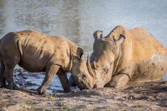 Vit noshörning för moder och att behandla som ett barn kalven vid vattnet arkivfoton