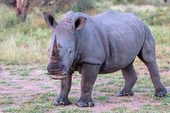 Vit noshörning i den Kruger nationalparken Arkivbilder