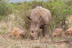 Vit noshörning i den Pilanesberg lekreserven, Sydafrika royaltyfria bilder
