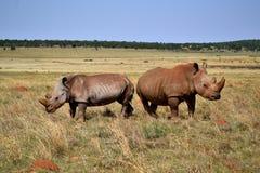 Vit noshörning i devenceposition Arkivfoton