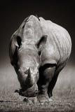 Vit noshörning i förfallen-signal Royaltyfri Fotografi