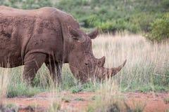 Vit noshörning i gyttja Fotografering för Bildbyråer