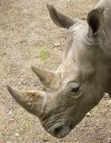 Vit noshörning i närbild Arkivfoto