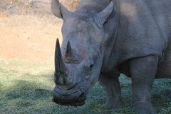 Vit noshörning i Namibia Fotografering för Bildbyråer