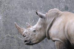 Vit noshörning i profil arkivfoton