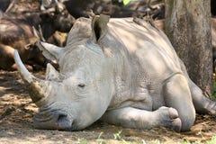 Vit noshörning i skuggan arkivfoton