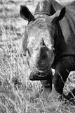 Vit noshörning i svartvitt Royaltyfria Bilder