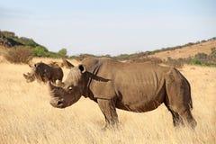 Vit noshörning i vinterlandskap Royaltyfri Fotografi