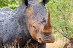 Vit noshörning, Kruger nationalpark, Sydafrika Fotografering för Bildbyråer
