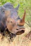 Vit noshörning, Kruger nationalpark, Sydafrika Arkivbild