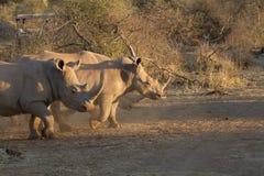 Vit noshörning, Madikwe lekreserv Arkivfoto
