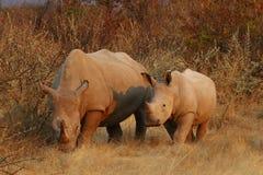 Vit noshörning med hennes kalv som betar i solnedgången Royaltyfria Foton