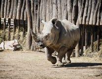 Vit noshörning och Addax Arkivfoto