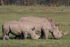 Vit noshörning och kalv i sjön Nakuru Arkivbild