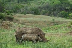 Vit noshörning och kalv Sydafrika arkivbild