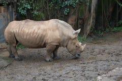 Vit noshörning på zoo Taipei arkivfoton