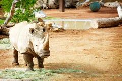 Vit noshörning som är ny på den Phoenix zoo fotografering för bildbyråer