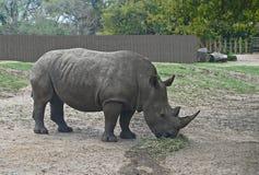 Vit noshörning som äter frukosten Royaltyfri Foto