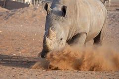 Vit noshörning som gör en reklamation för dess torva! royaltyfri fotografi