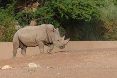 Vit noshörning som strosar, genom att visa av dess horn royaltyfria foton