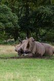 Vit noshörning två att koppla av på någon mitt- eftermiddag för gräs royaltyfria bilder