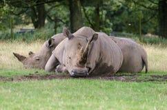 Vit noshörning två att koppla av på någon mitt- eftermiddag för gräs royaltyfri bild