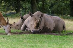 Vit noshörning två att koppla av på någon mitt- eftermiddag för gräs fotografering för bildbyråer
