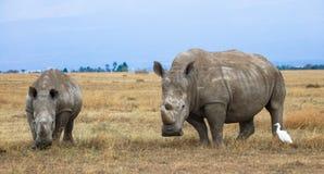 Vit noshörningkvinnlig med kalven royaltyfri fotografi