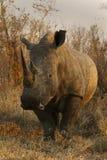 Vit noshörningtjur Arkivfoton