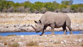 Vit noshörning Arkivbild