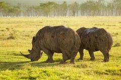 Vit noshörning i den sjöNakuru nationalparken Fotografering för Bildbyråer