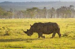 Vit noshörning i den sjöNakuru nationalparken Arkivbilder