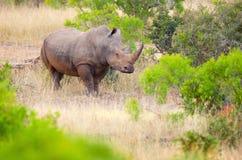 Vit noshörning, Kruger nationalpark, Sydafrika Arkivbilder