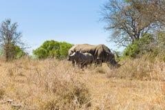 Vit noshörning med valpen, Sydafrika Arkivfoton
