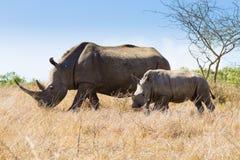 Vit noshörning med valpen, Sydafrika Royaltyfria Bilder