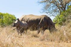 Vit noshörning med valpen, Sydafrika Arkivfoto
