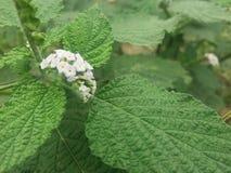 Vit ny blomma Royaltyfri Bild