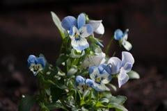Vit- och blåttaltfiolblommor arkivfoto