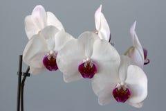 Vit- och bordeauxblomma av en orkidé Arkivfoton