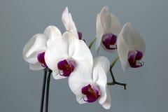 Vit- och bordeauxblomma av en orkidé Royaltyfria Foton