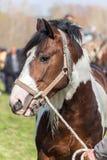 Vit och brun prickig häst Royaltyfria Bilder