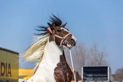 Vit och brun prickig häst Fotografering för Bildbyråer