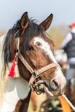 Vit och brun prickig häst Arkivfoto